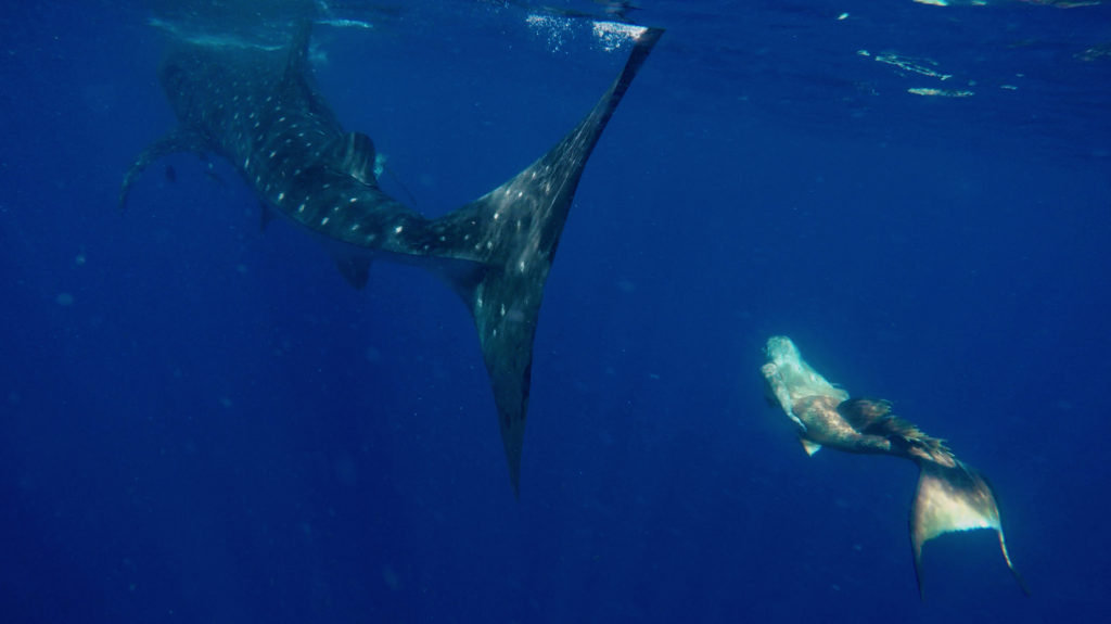 mermaid melissa whale shark